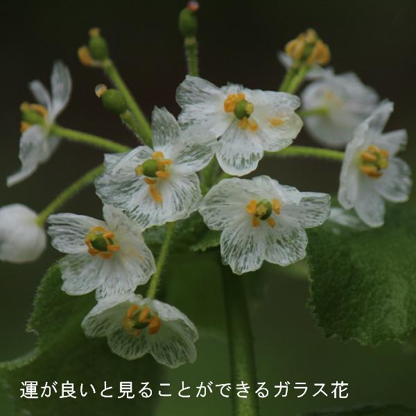 サンカヨウ 素掘り苗 ※入荷済み/※植え付けから1年後以降の開花見込み株