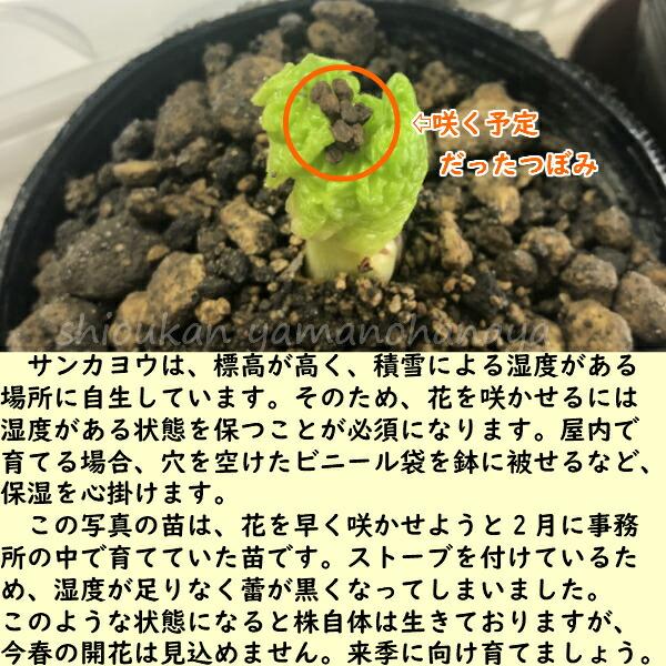 サンカヨウ 素掘り苗 山野草/山苛葉/※2022年開花見込み株/※入荷済み