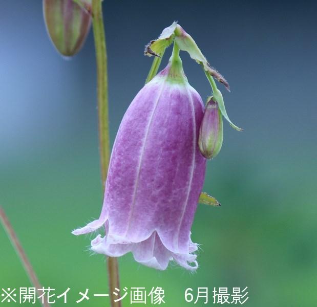 桃花二重咲きホタルブクロ 9cmポット苗 ダブル咲き/耐寒性多年草/蛍袋/カンパニュラ/※今季開花終了/※9/14植え替えました