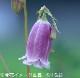 桃花二重咲きホタルブクロ 9cmポット仮植え苗
