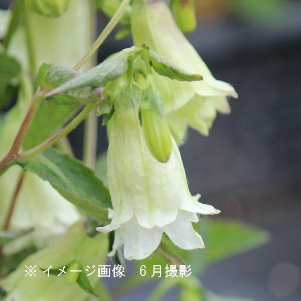 黄花二重咲きホタルブクロ 9cmポット苗 ダブル咲き/耐寒性多年草/蛍袋/カンパニュラ/矮性種/※今季開花終了/※9/14植え替えました