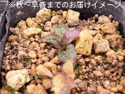 黄花二重咲きホタルブクロ 9cmポット仮植え苗