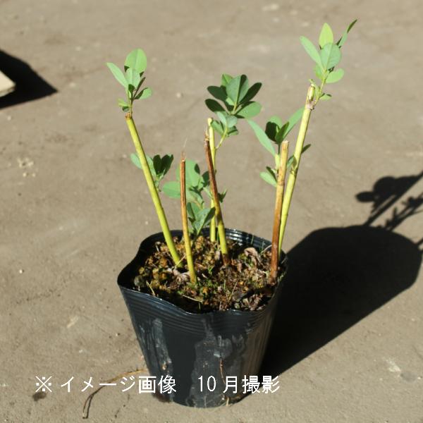 ムラサキセンダイハギ トワイライトプレーリーブルース 15cmポット大株苗