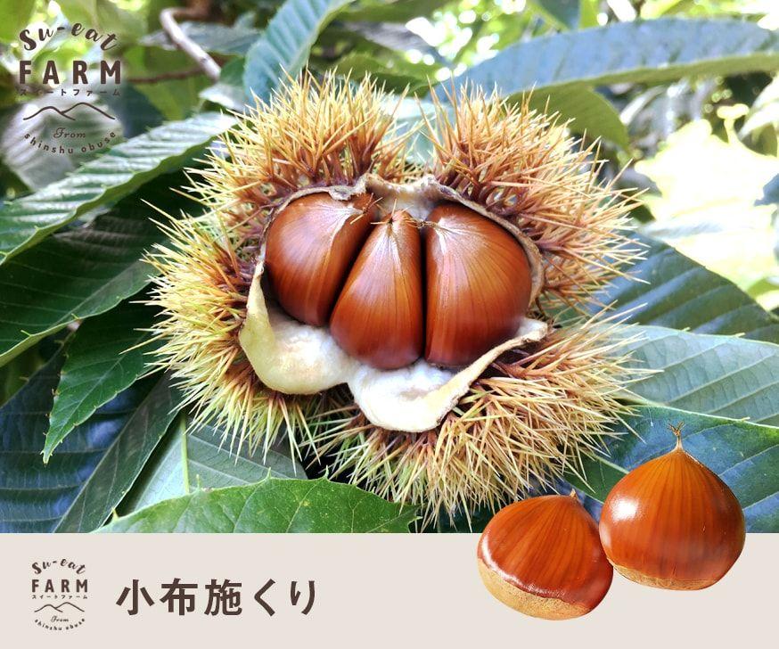 10月上旬〜中旬発送 特選 小布施 生栗 2キロ