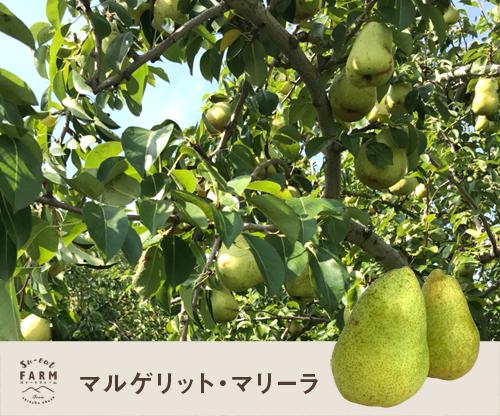 10月上旬 特選 西洋梨 マルゲリット マリーラ   5キロ