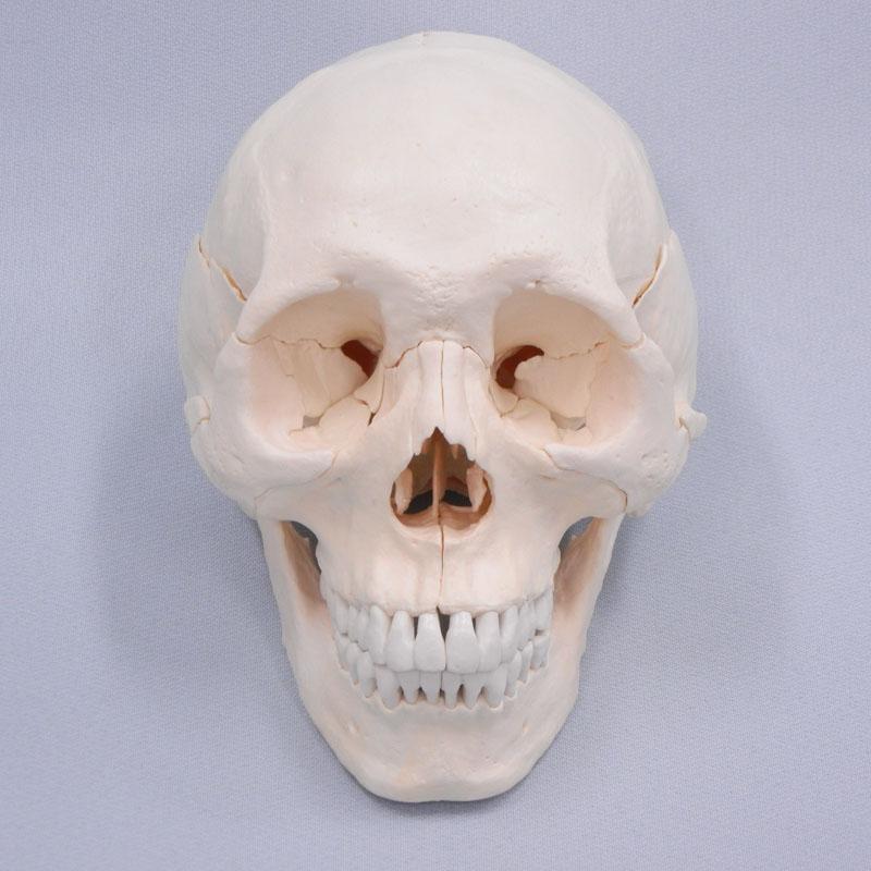 22分解頭蓋骨(白色)独161