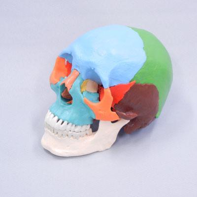 22分解頭蓋骨(カラー)独160