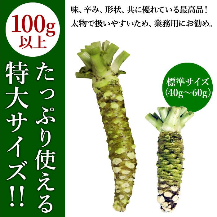わさび栽培発祥の地静岡県有東木産 本わさび(特大サイズ/1本100g以上) 1本