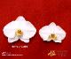 【プレミアム胡蝶蘭】白3本立(PHA03W-002)