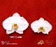【プレミアム胡蝶蘭】白10本立(PHA10W-001)