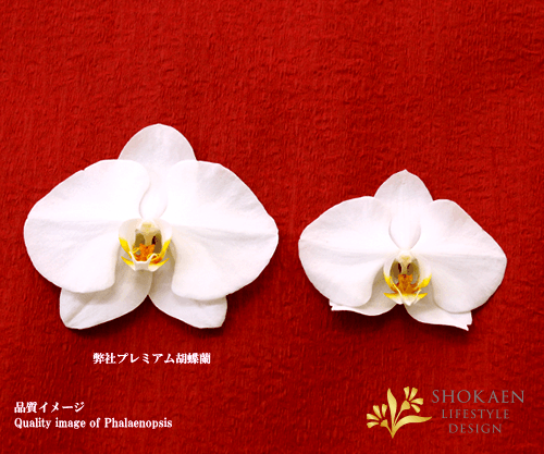 【プレミアム胡蝶蘭】白3本立(PHA03W-005)