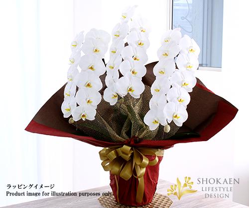 【プレミアム胡蝶蘭】白3本立(PHA03W-001)