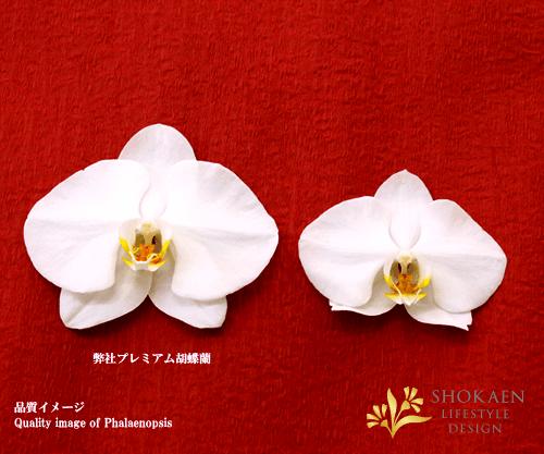 【プレミアム胡蝶蘭】白3本立(PHA03W-004)