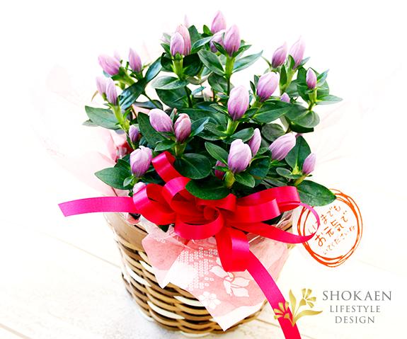 【敬老の日花鉢】秋の歌-あきのうた- ピンク【ヤマト宅配100cmサイズ】