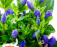 【敬老の日花鉢】秋の歌-あきのうた- ブルー【ヤマト宅配100cmサイズ】
