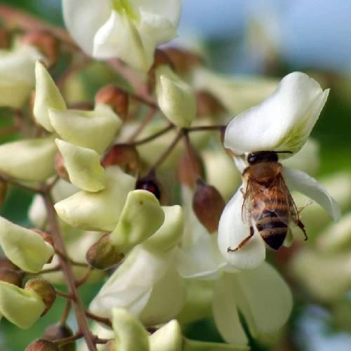 ミエリツィア アカシアの有機ハチミツ スクイーザーボトル 250g