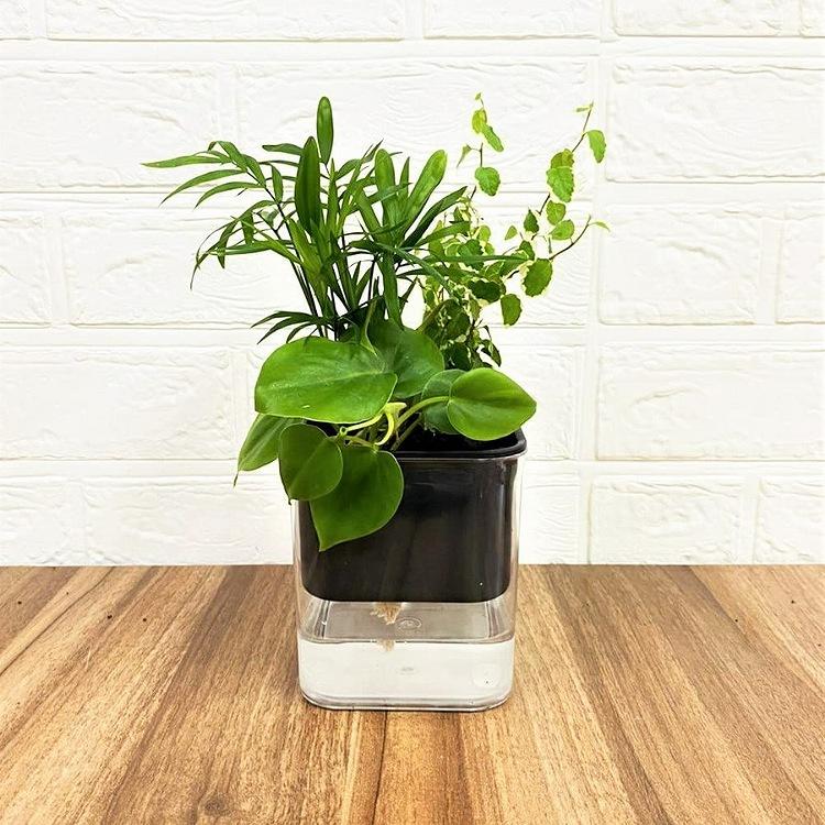 楽しい 寄せ植え 寄せ植えセット テーブルヤシ モデル Hシリーズ 301ブラック