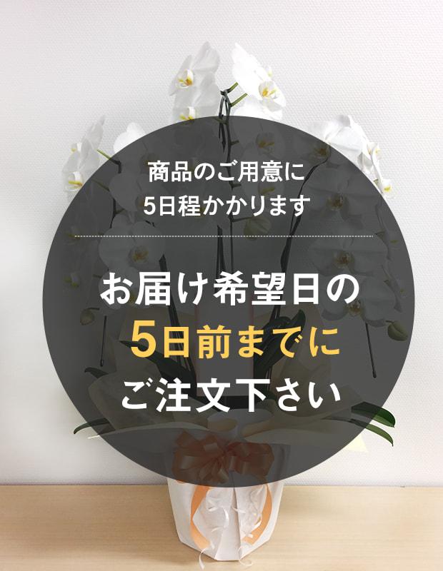 胡蝶蘭 白 3本立ち [お届け可能エリア:豊橋市・浜松市]