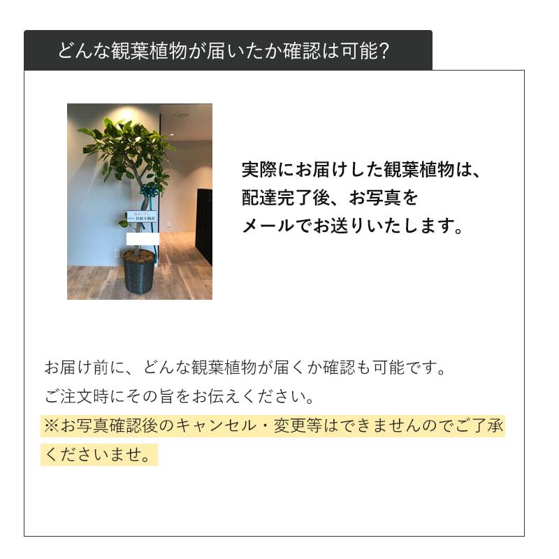観葉植物おまかせプランL [お届け可能エリア:豊橋市・浜松市]