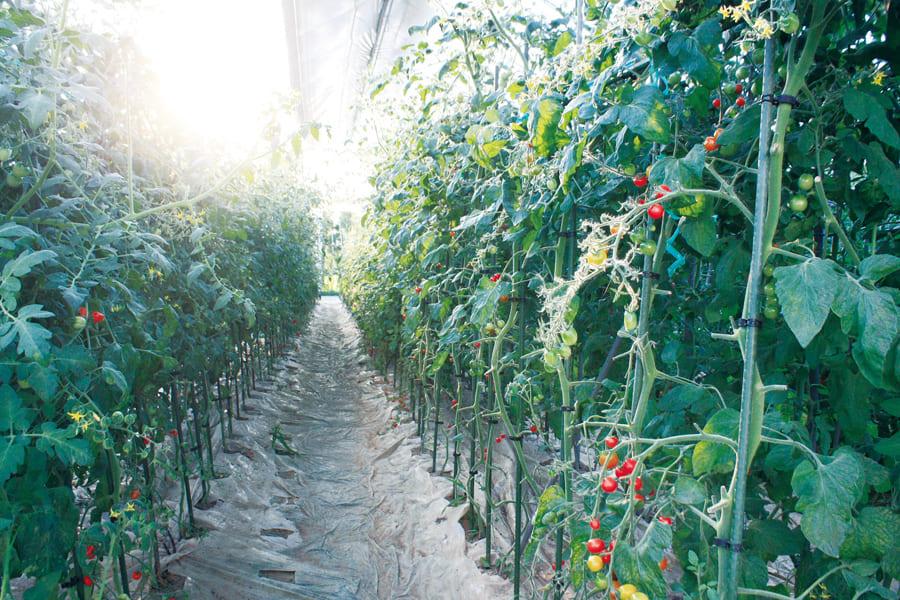 トマトジュースとゼリーのセット【岡本農園】
