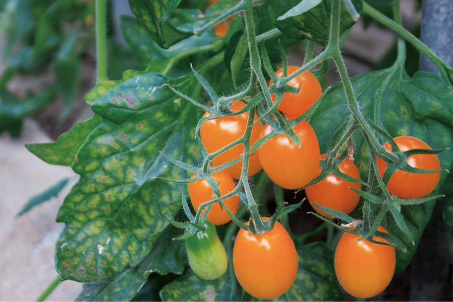 ミニトマトジュース 3 色セット【岡本農園】