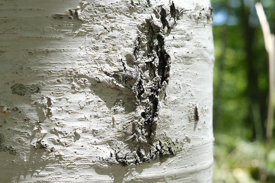 シラカシャンプープラス(白樺樹液シャンプー)