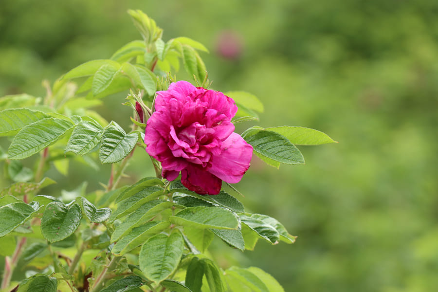 rosa・rugosa セラム<美容液>
