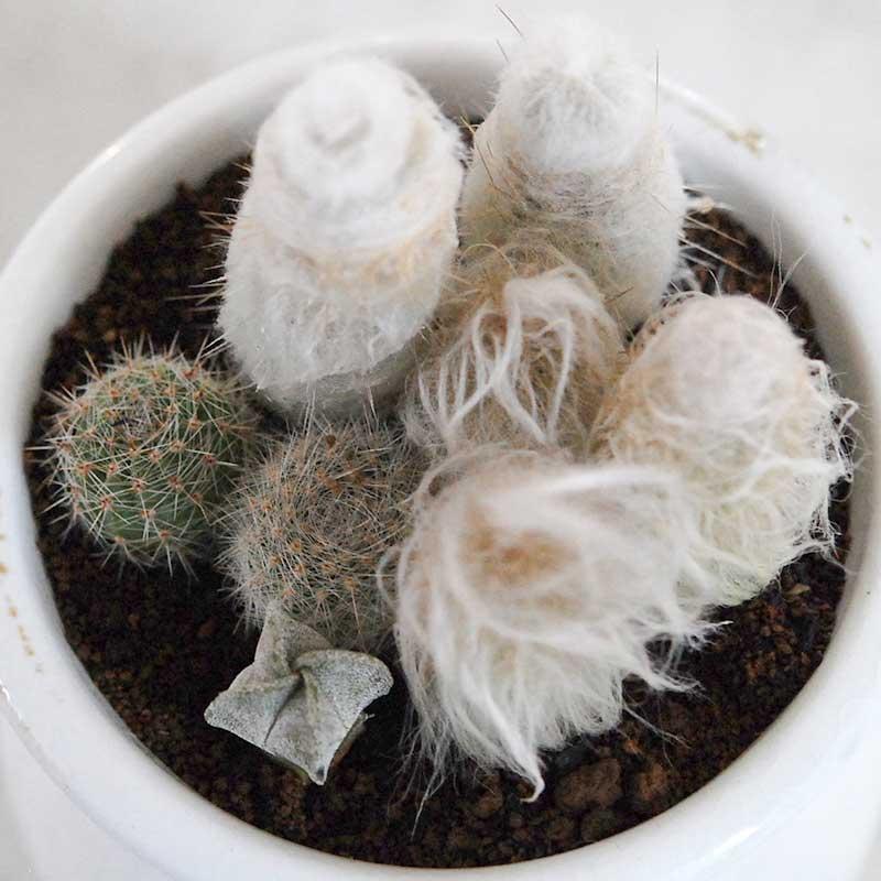白いサボテン寄せ植え x 壺
