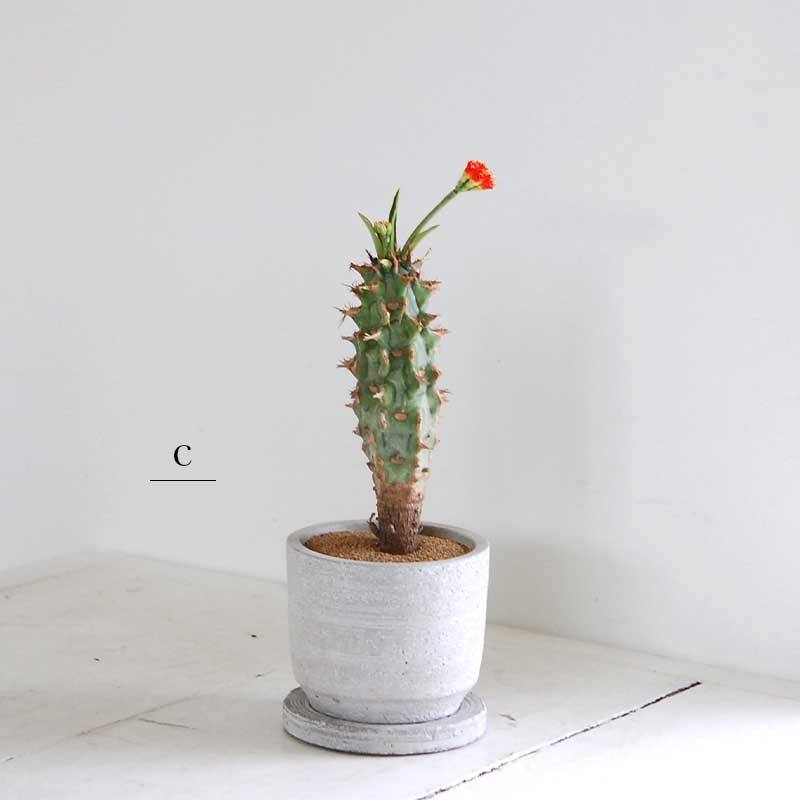 多肉植物 x グレーポット