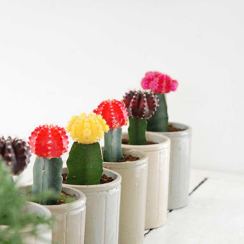 grafted cactus  x イギリスジャーm