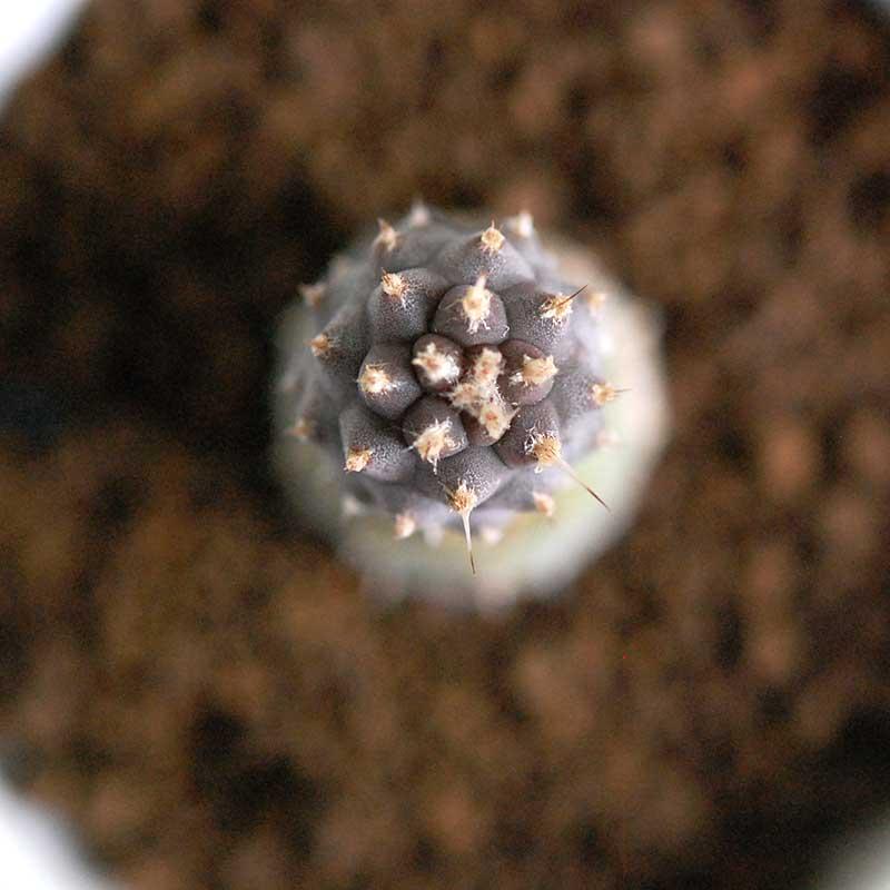 松笠団扇 / Tephrocactus