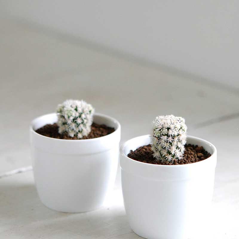 明日香姫 / Mammillaria