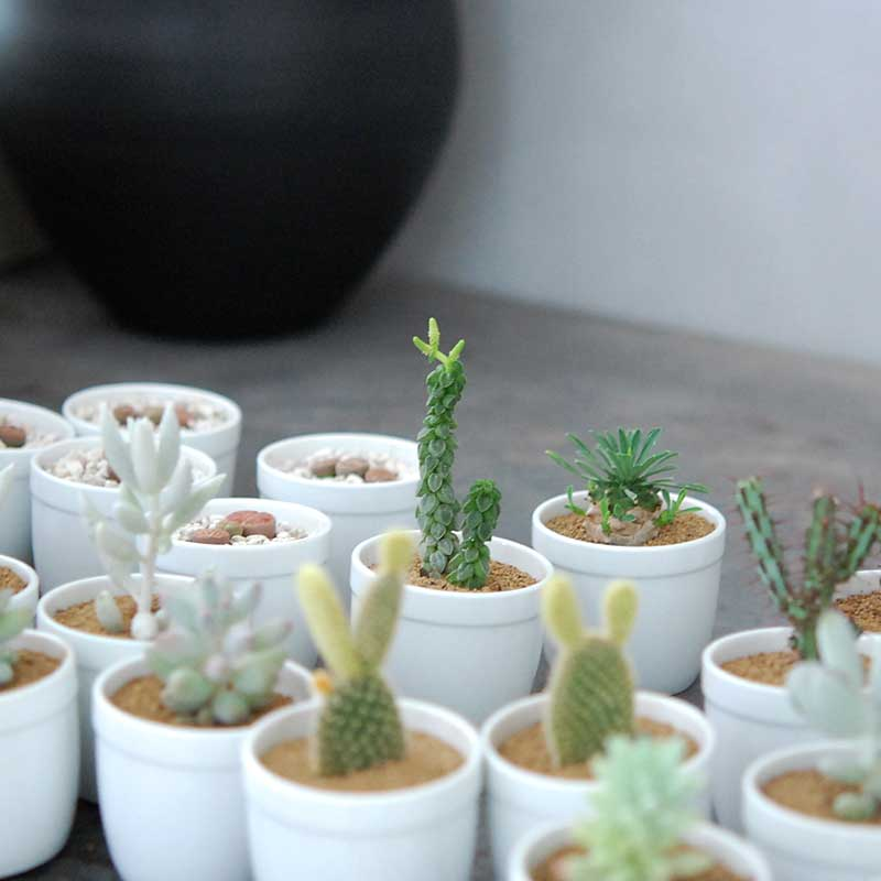 アエルギノーサ / Euphorbia