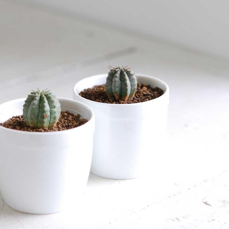 オべサ梵天 / Euphorbia
