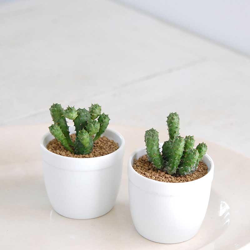 稚児キリン / Euphorbia
