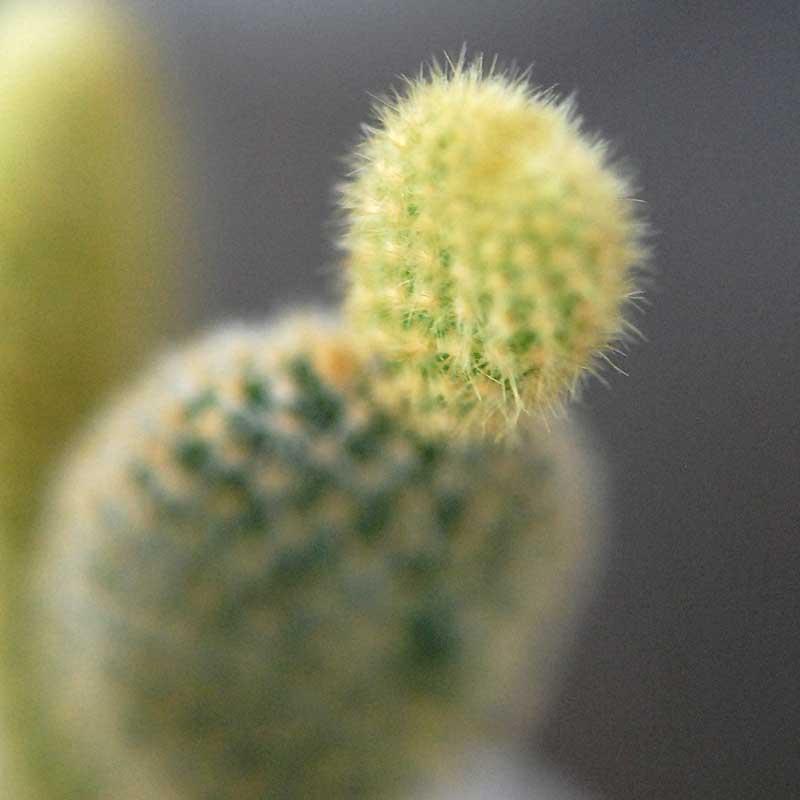 黄棘象牙団扇 / Opuntia