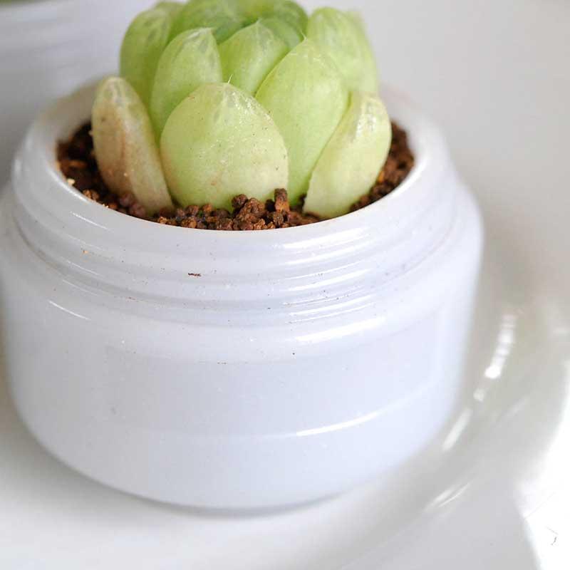 大粒グリーンオブツーサ x 日本の薬瓶