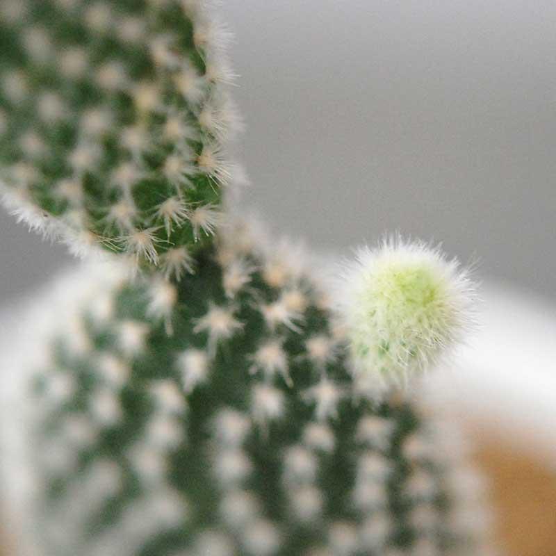 象牙団扇、白桃扇 / Opuntia