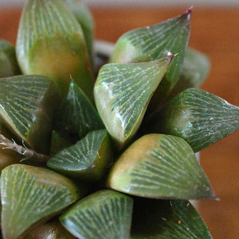 ハオルシア交配種 x イギリスジャー
