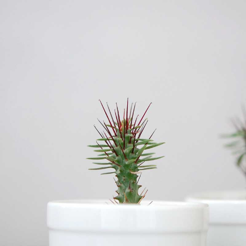 紅彩ロリカ / Euphorbia