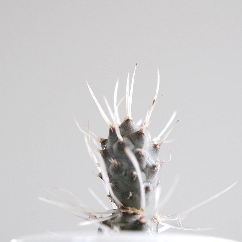 Tephrocactus / 武蔵野