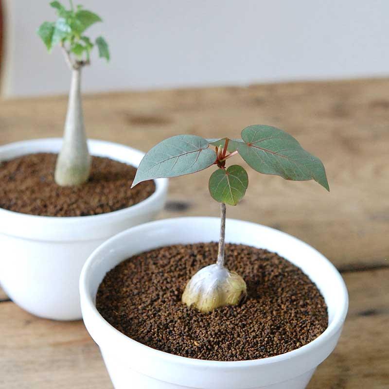 木立種多肉植物 x puddingbowl