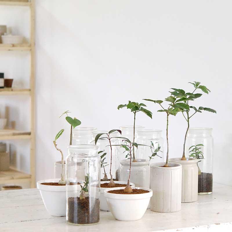 木立種多肉植物 x イギリスジャーL