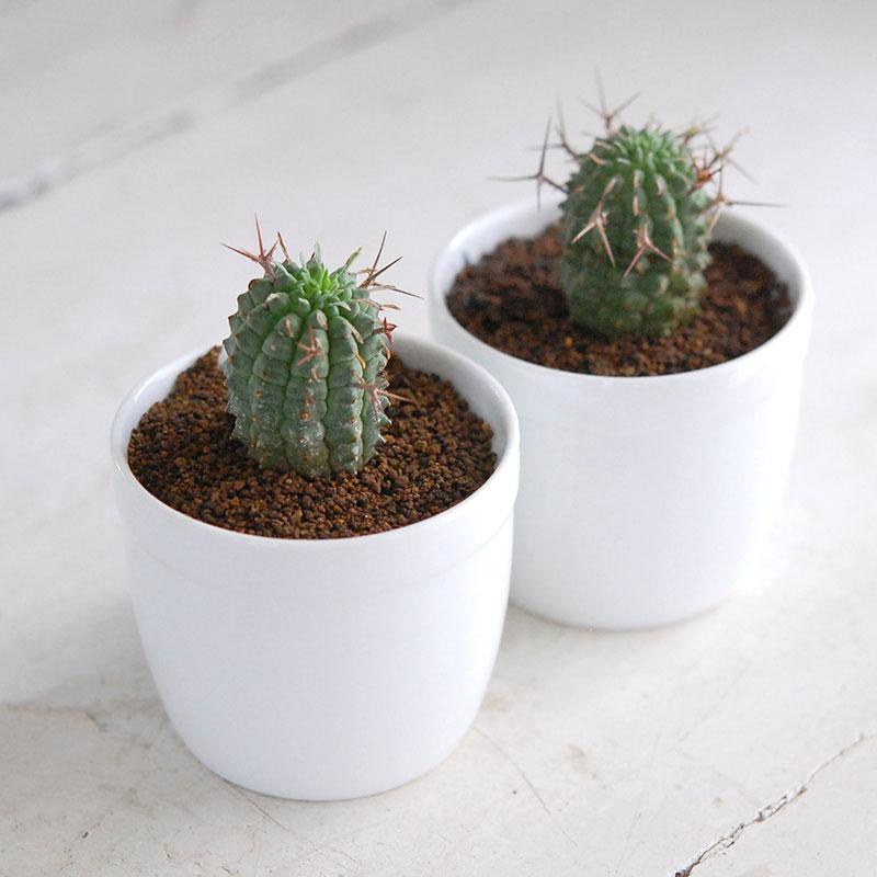 Euphorbia / 群星冠