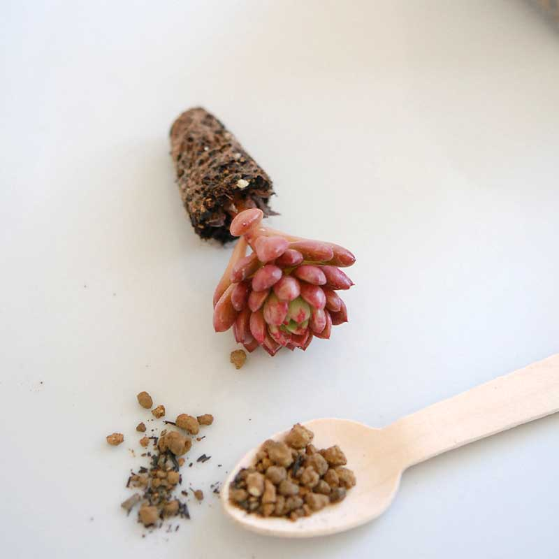 多肉植物のミニ苗キット(ブレンド土sとスプーン、ボックス付き)