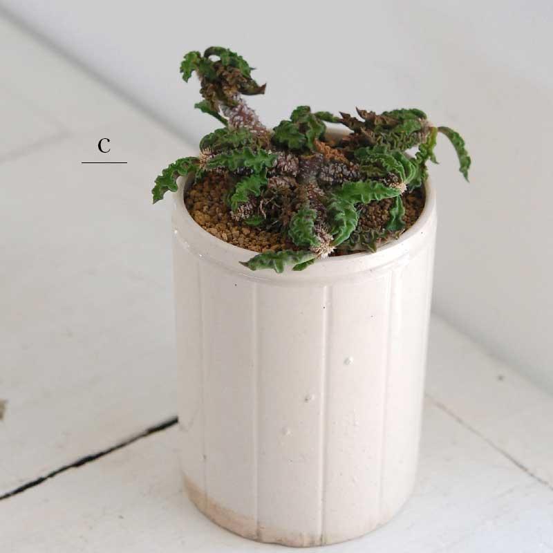 レア多肉植物 x アンティークポット