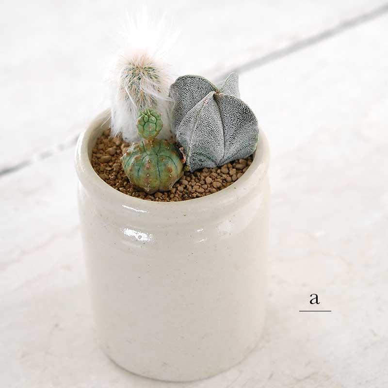 サボテンの寄せ植え x イギリスジャーm