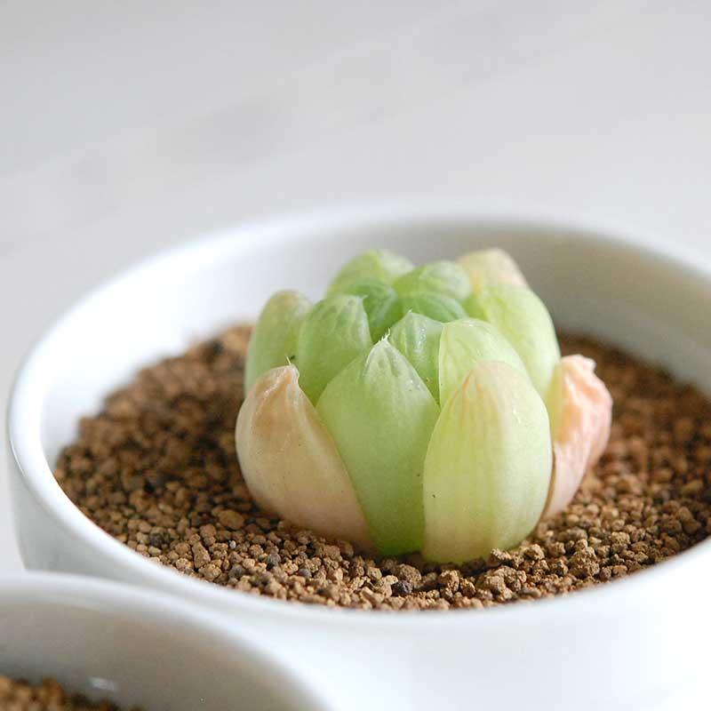大粒グリーンオブツーサ / Haworthia