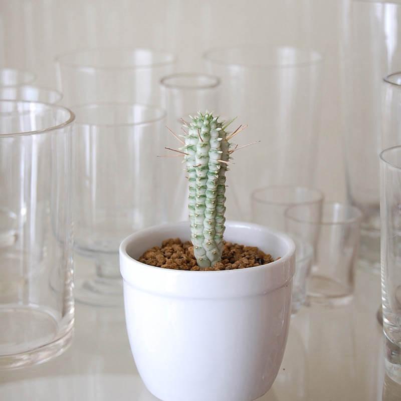 白樺キリン / Euphorbia