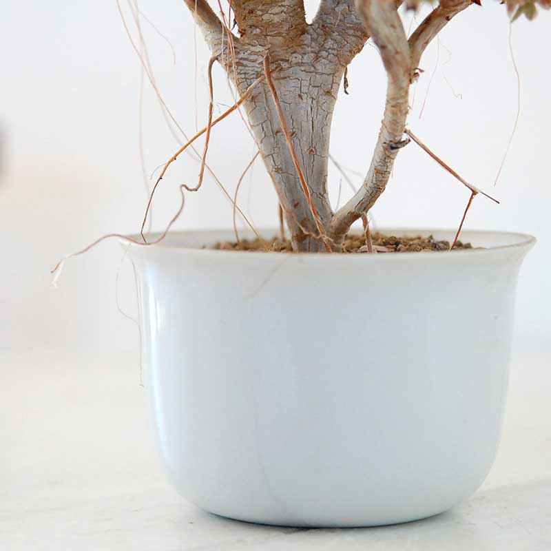 多肉植物 x 白磁の器